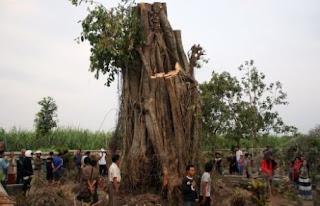 pohon tumbang bisa berdiri lagi di kediri