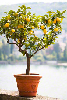Meyer lemon ( Citrus × meyeri) plants survive