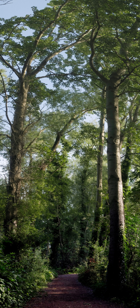 Long image of the tall trees which overshadow path
