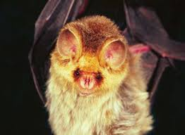 Short-eared trident bat