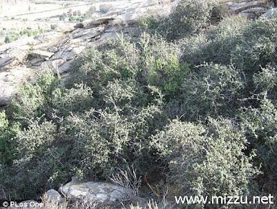 Tanaman Tertua Di Dunia (Oak Jurupa)