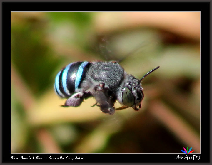 Bees Blue Blue Banded Bee Amegilla