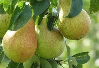 Καστοριά: Η παραγωγή αχλαδιών αναµένεται πιο αυξηµένη σε σχέση µε πέρσι