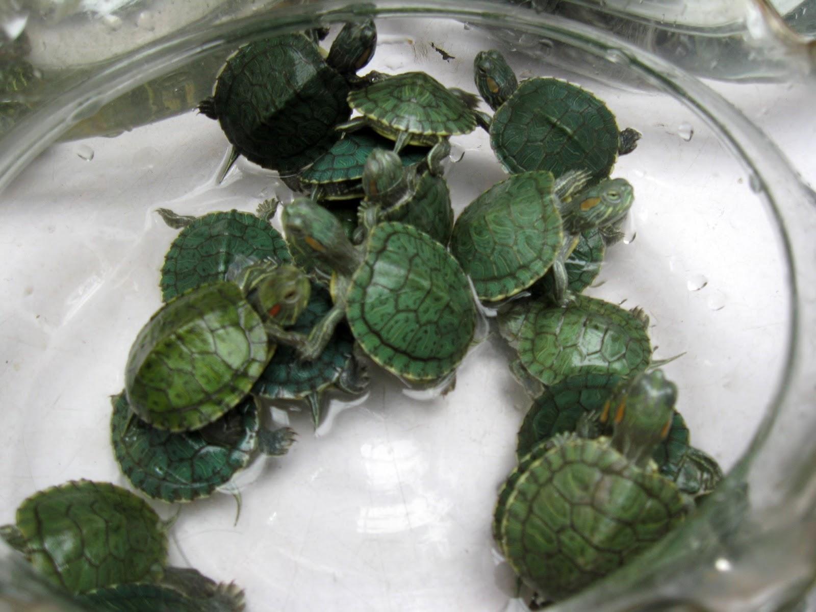 Baby Pet Turtles Baby turtles: