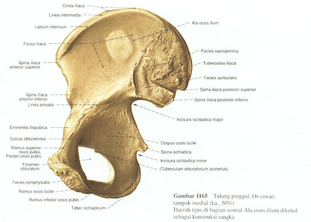 Darmbein (Os ilium)    Med-koM