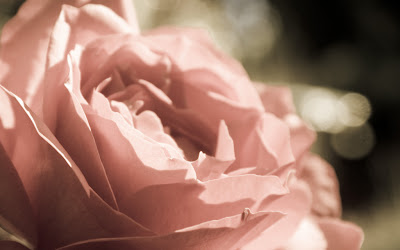 Indian pink rose