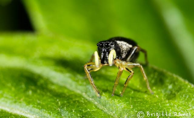 heliophanus cupreus araignée