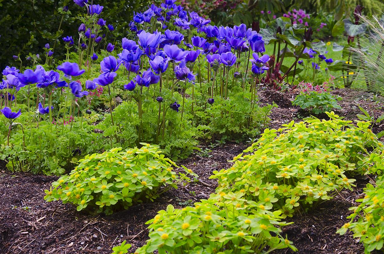 Весна,весна на улице!!! - Страница 18 Hacquetia+with+anenomes+small
