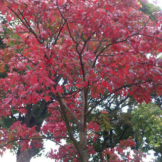 red tree in Homefield Park, Worthing