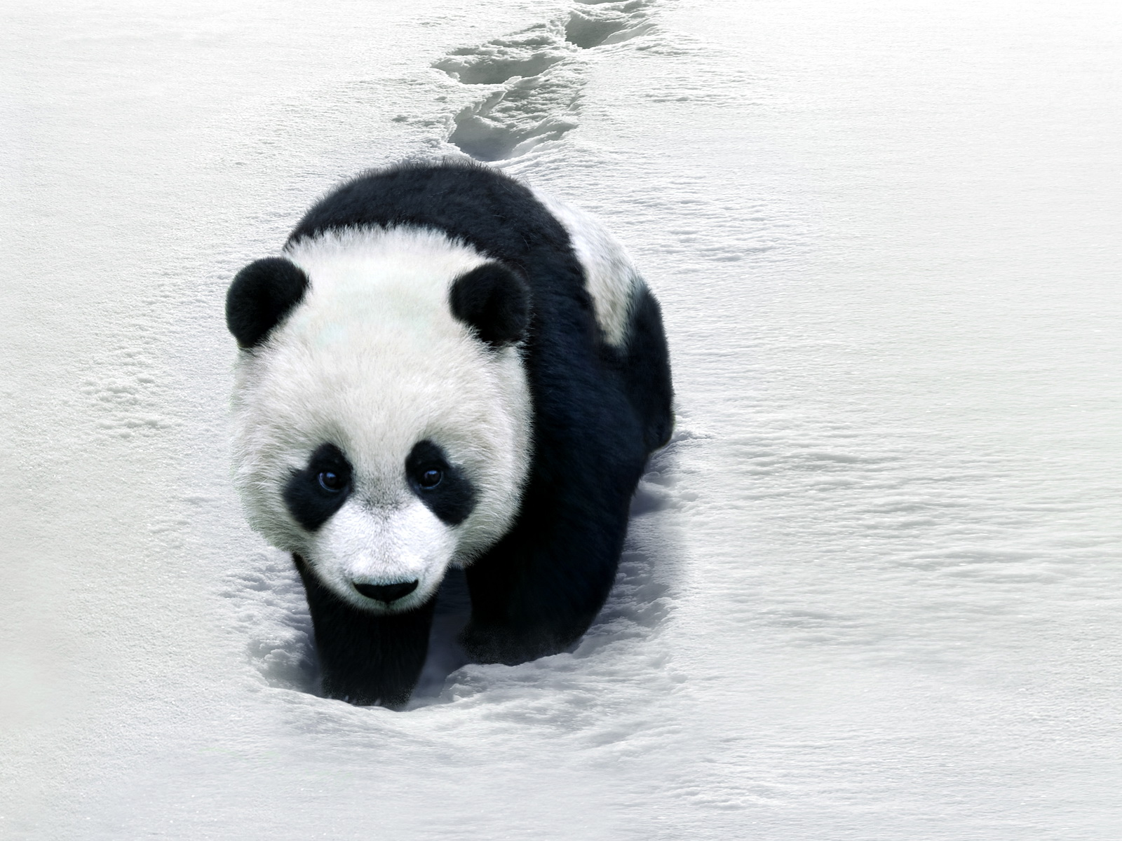 desicommentfirst baby panda wallpapers