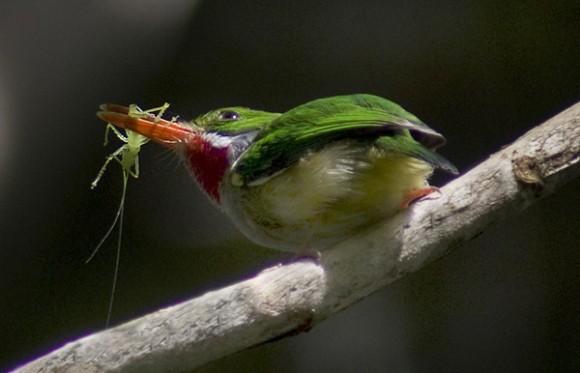 معلومات شيقة على طيور التودي بالصور Tody01vanessa-580x373