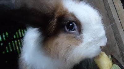 Kelinci Anggora sedang makan