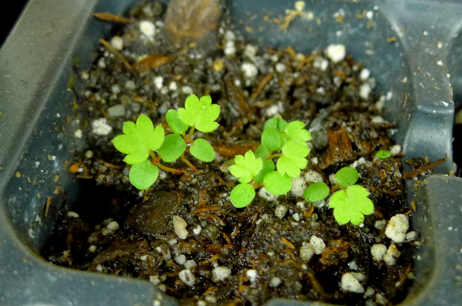 Alpine strawberry seedlings