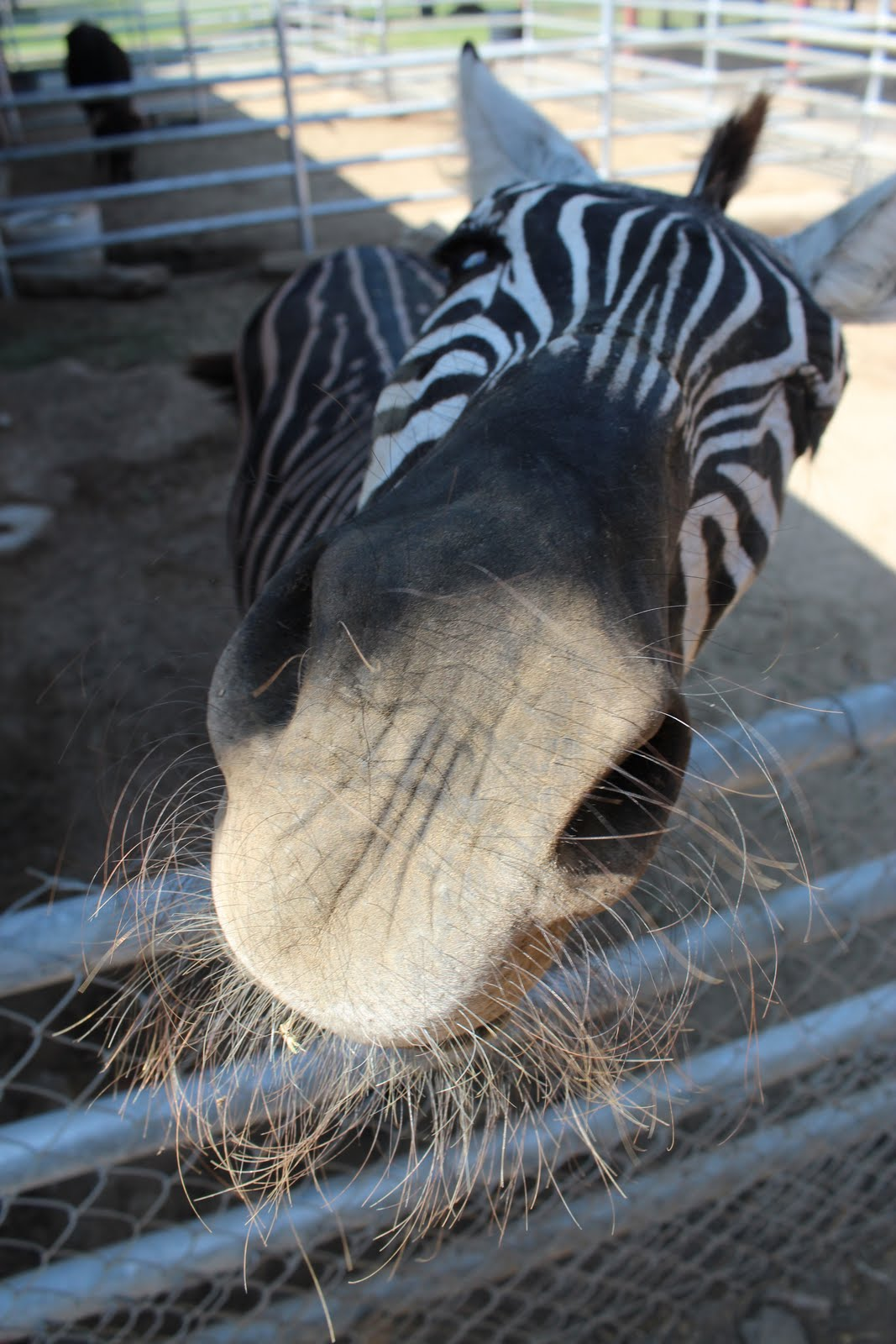 Zebra Petting Zoo Best Petting Zoo in Los