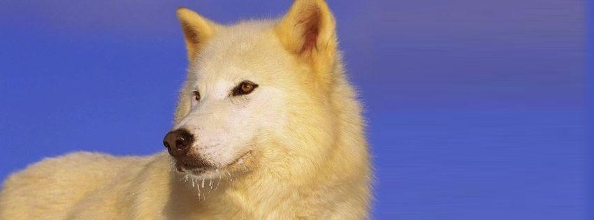Couverture facebook avec joli loup blanc