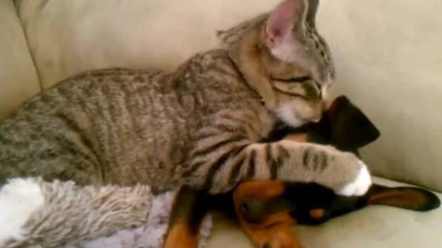 Ce chat a attendu toute la journée que ce chien revienne du vétérinaire, ce qu'il lui fait est super!