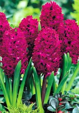 Los hyacinthus jacintos el cuidado de las plantas y el - Jacinto planta cuidados ...