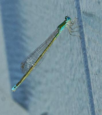 Emerald Spreadwing (Lestes dryas)