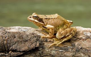 צפרדע מצויה