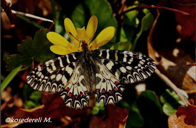 Güneyli fisto kelebeği görünümü