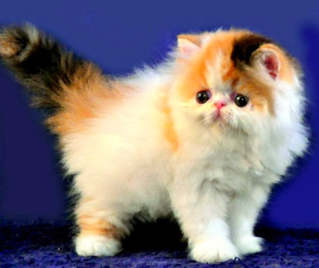 Kucing Anggora Persia Related Keywords Kucing Anggora