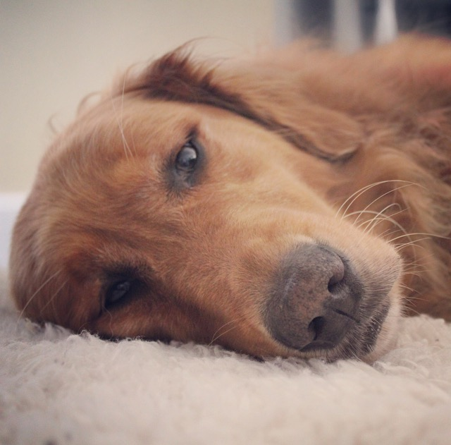 close up of golden retriever blog paws wordless wednesday blog hop