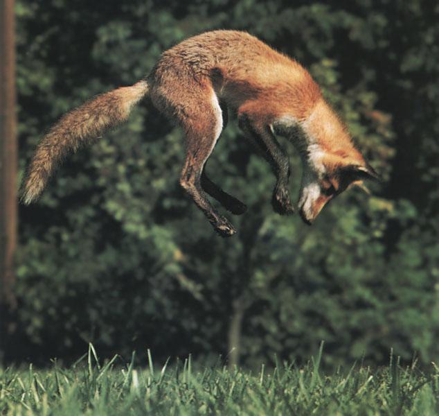 .::Vulpini::. Fox11