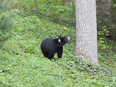 The North Carolina Urban/Suburban Bear Study