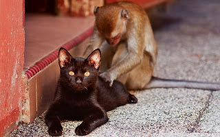 Monkey searching for fleas on a cat