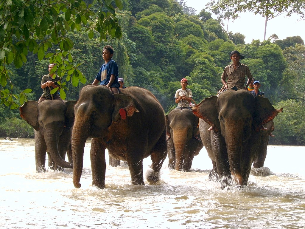 Atasi Gajah Liar, CRU Cut Mutia Diminta Kembali ke Wilayah Hutan Lindung