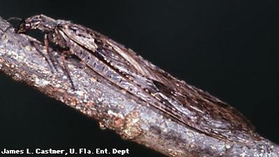 mosca dobson del este Corydalus cornutus