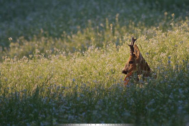 Reebok in Wilde Radijs - Roe Deer buck in Wild Radish field - Capreolus capreolus