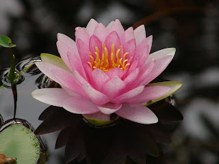 Bayou lady the lotus eaters the lotus eaters mightylinksfo