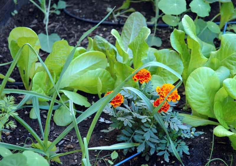 Cultivos asociados for Asociacion de plantas en el huerto