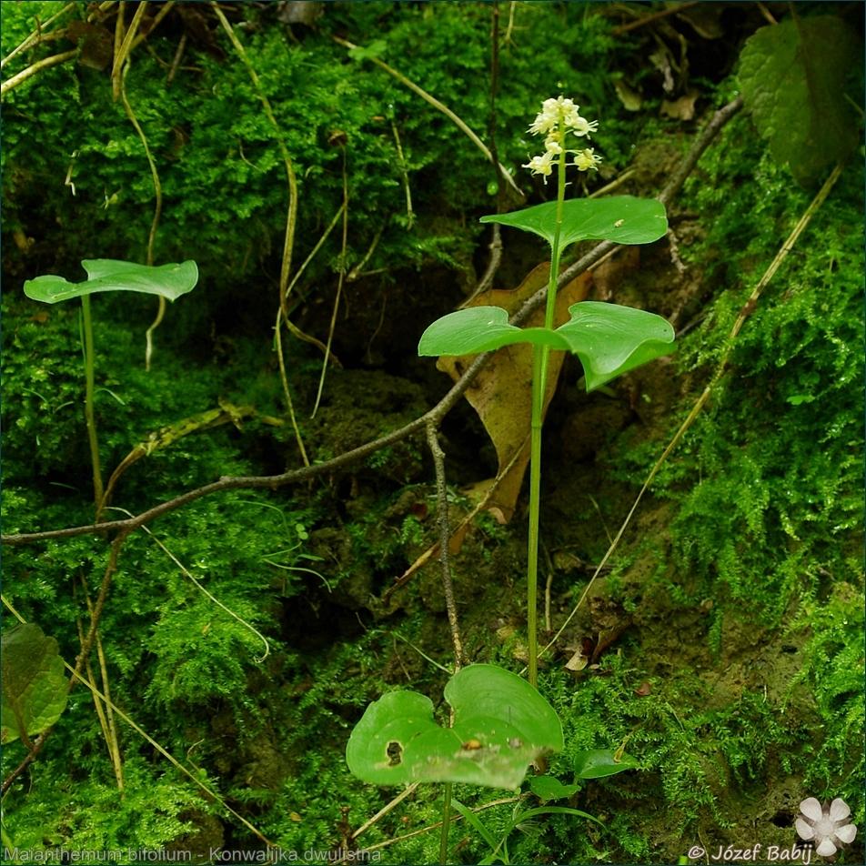 Maianthemum bifolium - Konwalijka dwulistna