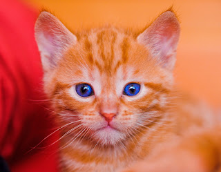 Portrait of a red kitten with blue eyes
