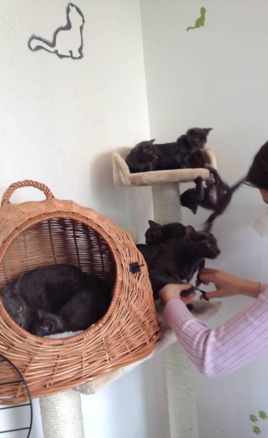 Chaton korat vid o t t e familiale - Quand peut on couper les griffes d un chaton ...