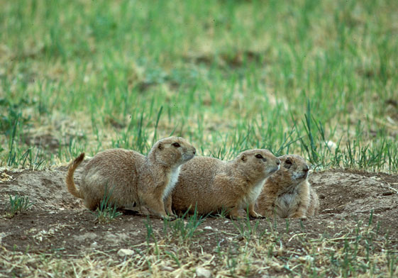 The news for squirrels squirrel facts the black tailed prairie dog black tailed prairie dogs live in burrows which can be amazingly complex each burrow may have multiple entrances increasing the chance for escape from m4hsunfo