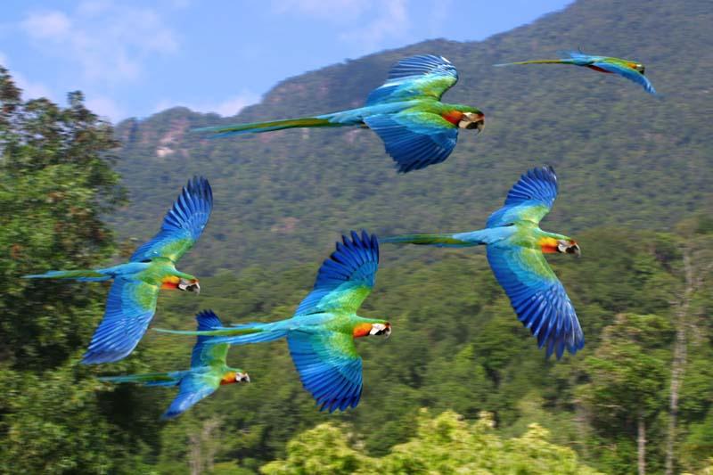 Resultado de imagem para araras voando sobre a amazonia