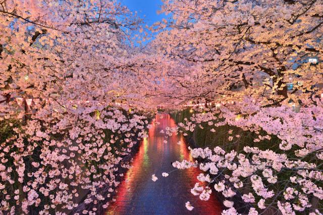 Cahaya Indah Diantara Bunga Sakura Tepi Sungai Megurogawa di Tokyo Jepang