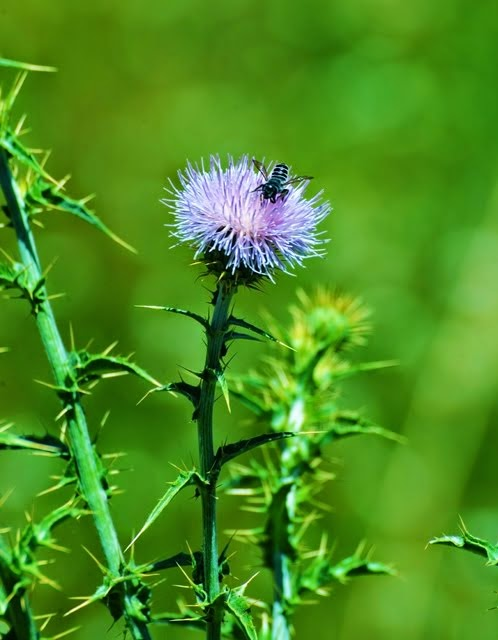 Mohave Thistle, Cirsium mohavense, Sphyrid Fly_7203