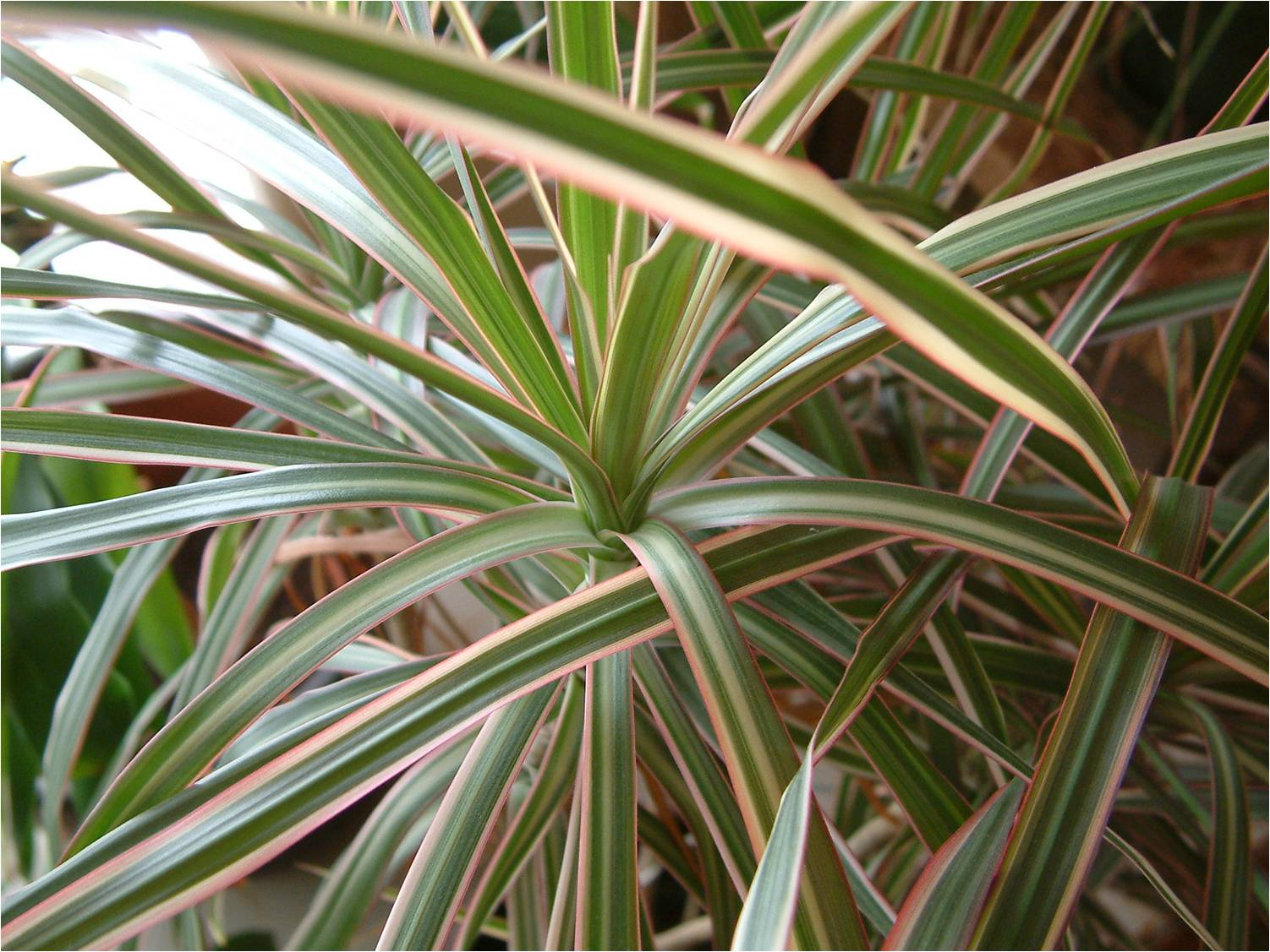 Dracaena marginata 'Tricolor' ou dracena arco-íris