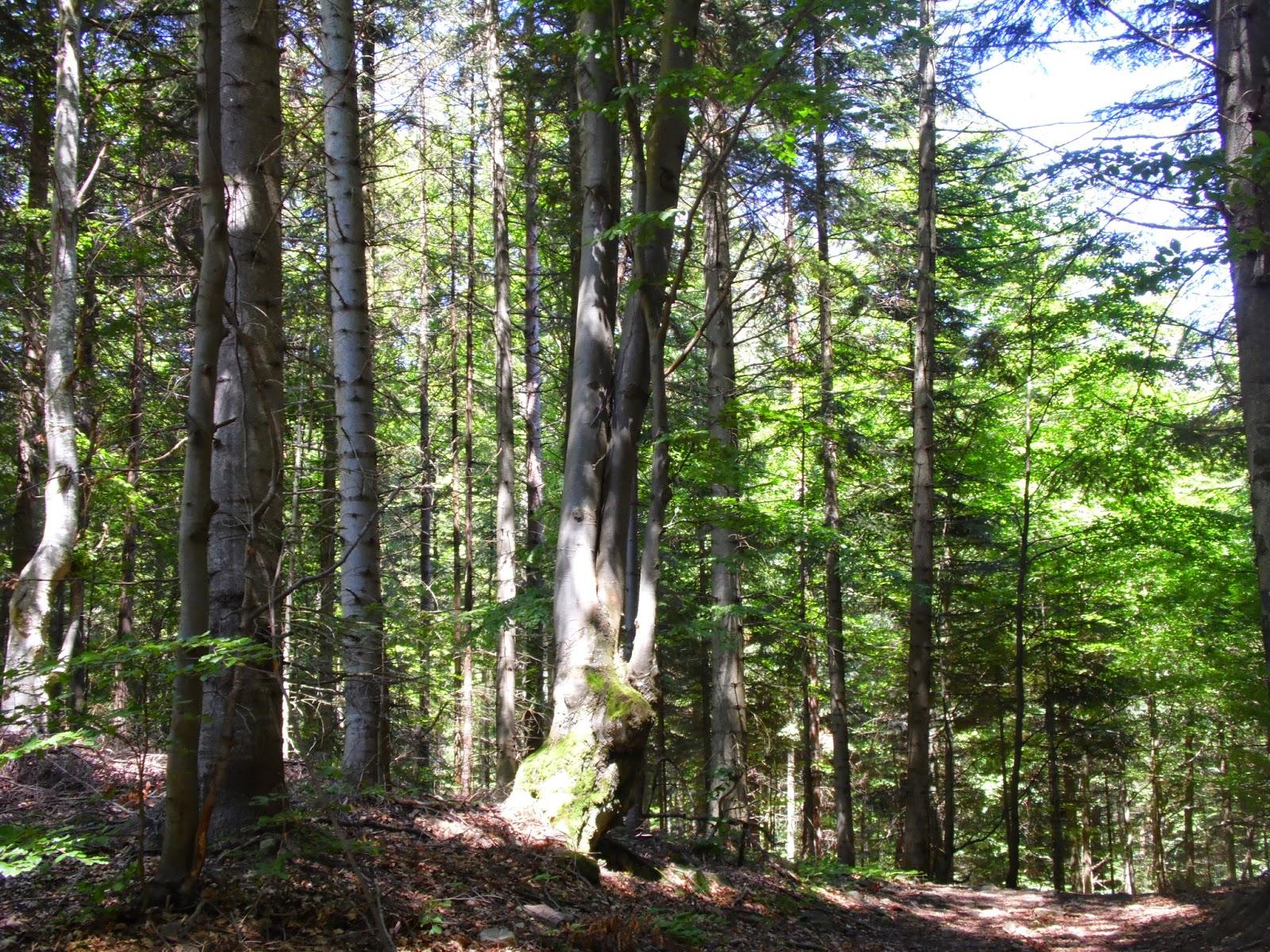 Las rosnący przy szlaku z Muszyny na Jaworzynę Krynicką