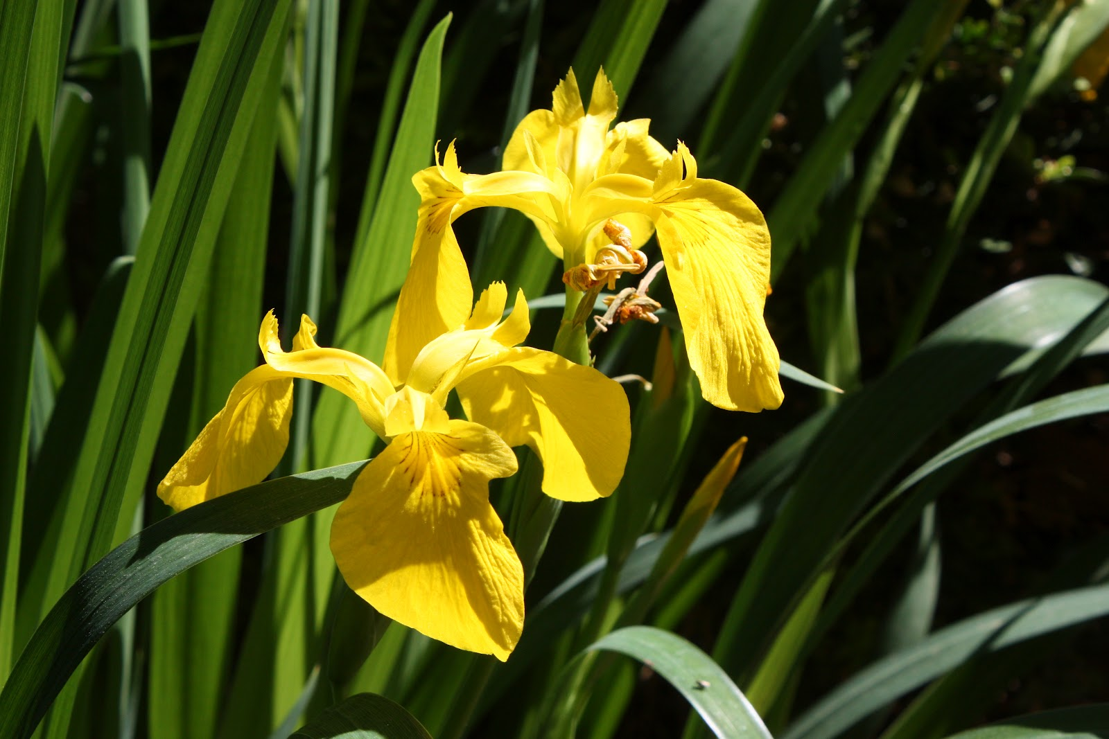 All the dirt on gardening 0412 flag iris paleyellow iris iris pseudacorus izmirmasajfo