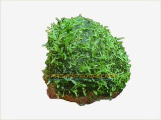 gambar-Batu-Erect-Moss-Vesicularia-Reticulata-Pachira-Aquascape-Tanaman-Aquascape
