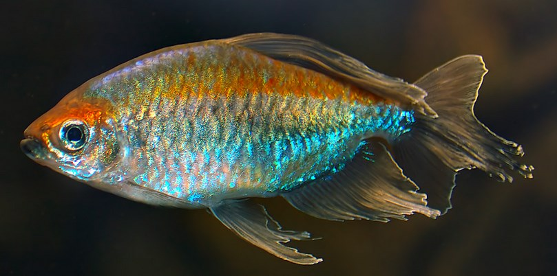 Congo Tetra ikan hias cantik dengan warna pelangi