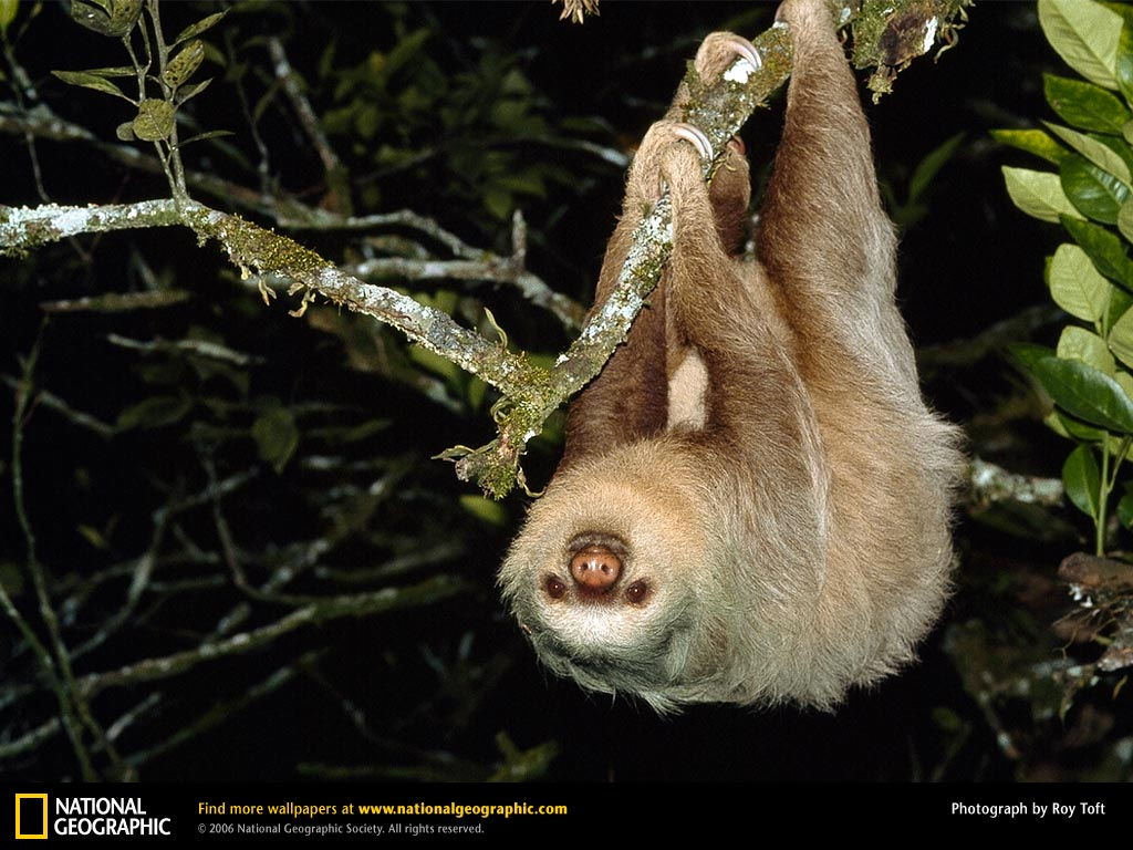 south american rainforest sloth