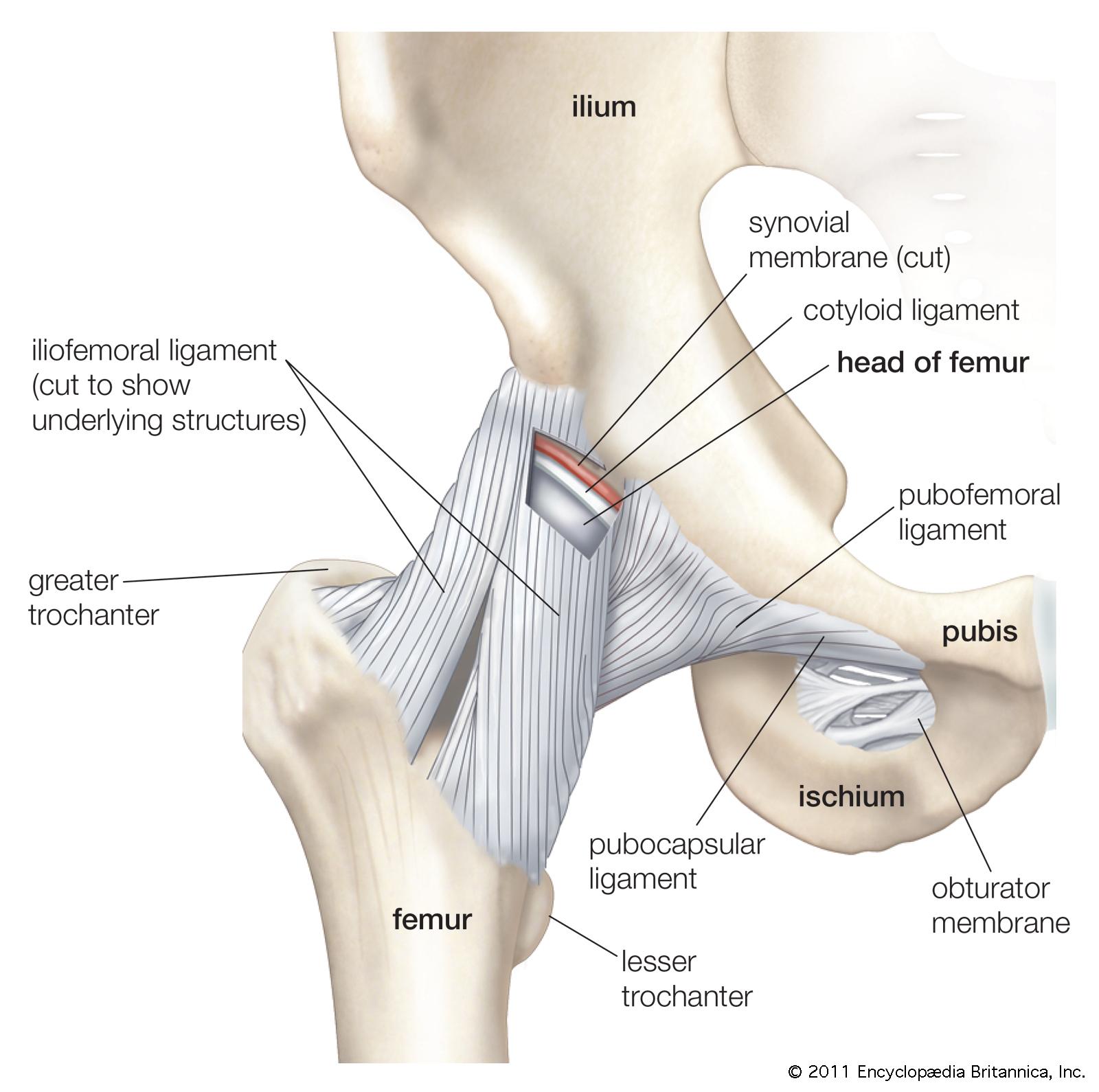 Hip anatomy tendons