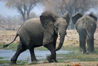 Los elefantes africanos