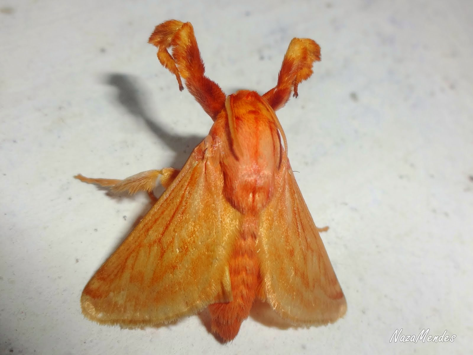 Mariposa Pérola